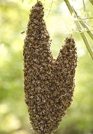 梦见蜜蜂窝_我养了一窝蜜蜂,今天来了几只大蜂子,蜜蜂死了很多,好多都跑到窝外面
